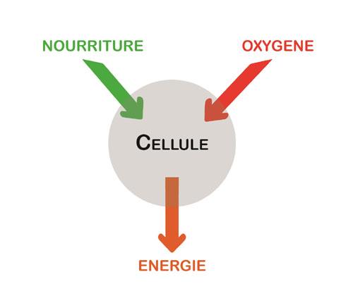 Métabolisme d'une cellule
