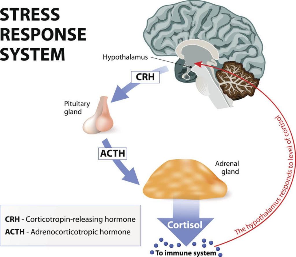 Hormone du stress